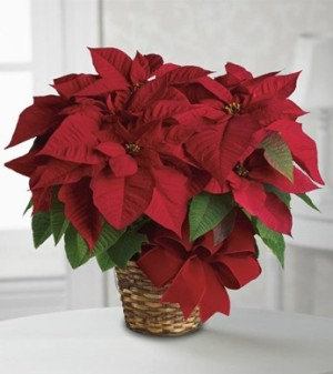 Poinsettia Plant by George Thomas