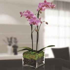Double Phalaenopsis Orchid from George Thomas Florist