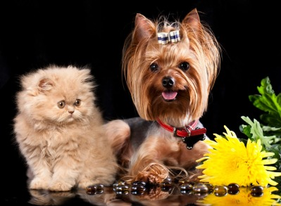 Persian cat and Yorkshire Terrier