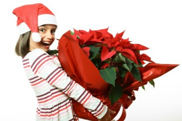 Funny and cute little girl with Santa hat holding a big poinsettia
