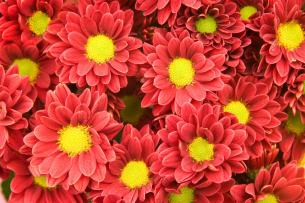 daisy-mums-ray-flowers-disk-centre