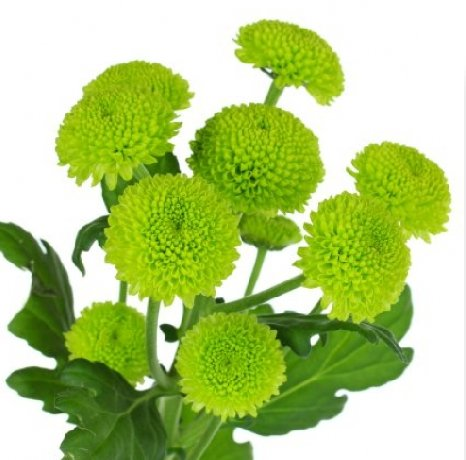 wedding-flowers-wholesale-green-button-mums-001